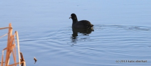 from the flock / a coot / disengaging