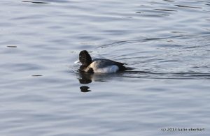 between dives / a scaup / the river iceless