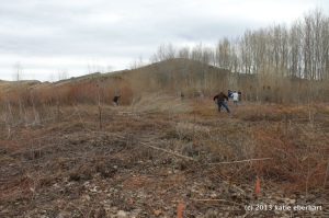 willow nursery - cutting live willow stakes for revegetation