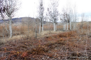 """chopped willows - source of """"live stakes"""""""