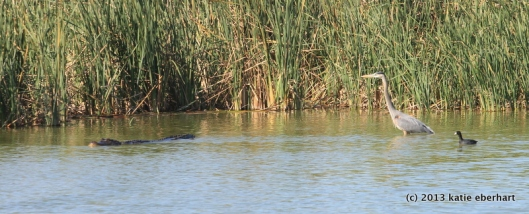 Great blue heron, American coot and an alligator