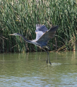 Great blue heron takes flight. Alligator nearby.