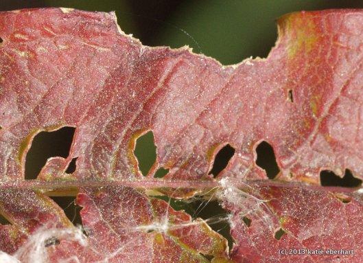 Fireweed leaf. Chewed.