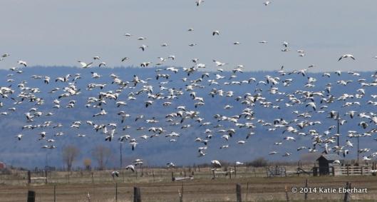 Snow Geese near Burns, Oregon. April 9, 2014.