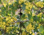 bumblebee on golden currant