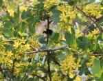 bumblebee on golden currant
