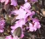 honeybee on rhododendron