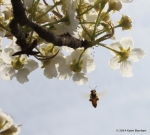 honeybee and crabapple blooms