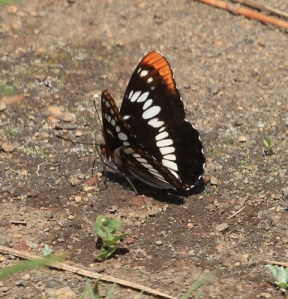 Lorquin's  admiral - butterfly