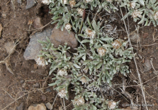 5. Dwarf Pussy Toes (Antennaria dimorpha). Ground hugging, and not showy at all.