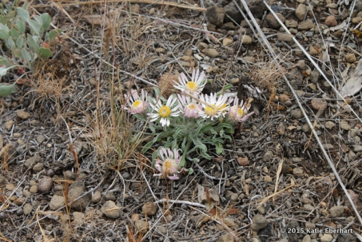 7. Showy Townsendia (Townsendia florifera), a cluster of pinkish blooms with yellow centers, just one clump among tufts of grass, and pebbles, as surprising as seeing an orchid while hiking in the forest.