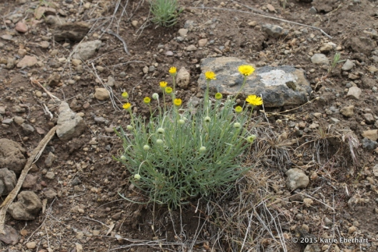 8. Desert Yellow Daisy, also called Lineleaf Fleabane (Erigeron linearis). Flagrantly yellow amidst monotonous grasses and stones.