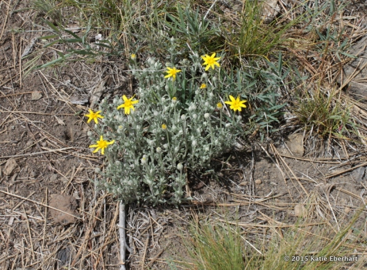 10. Oregon Sunshine also called Wooly Yellow Daisy (Eriophyllum lanatum). Yellow like a drawing of the sun and, I hope, an easy name to remember.