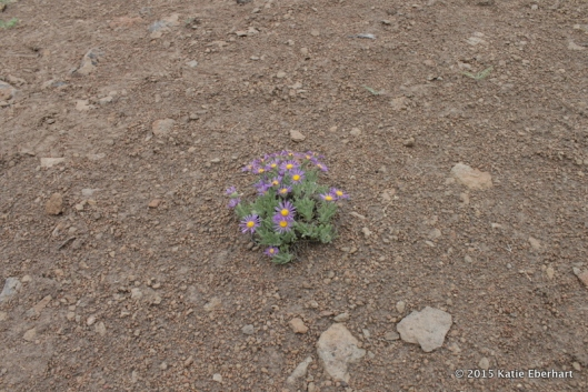 11. Cushion Fleabane (Erigeron poliospermus). Away from the canyon, where the trail was so dry that even juniper trees were absent.