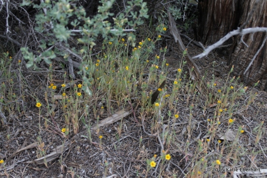 12. White-stemmed Stick-leaf (Mentzelia albicaulis). Dinky yellow blooms clustered at the base of a juniper and half-hidden beneath the branches of a bitterbrush.