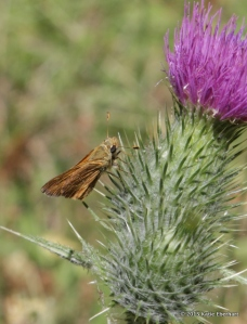 Skipper on thistle at Metolius Preserve